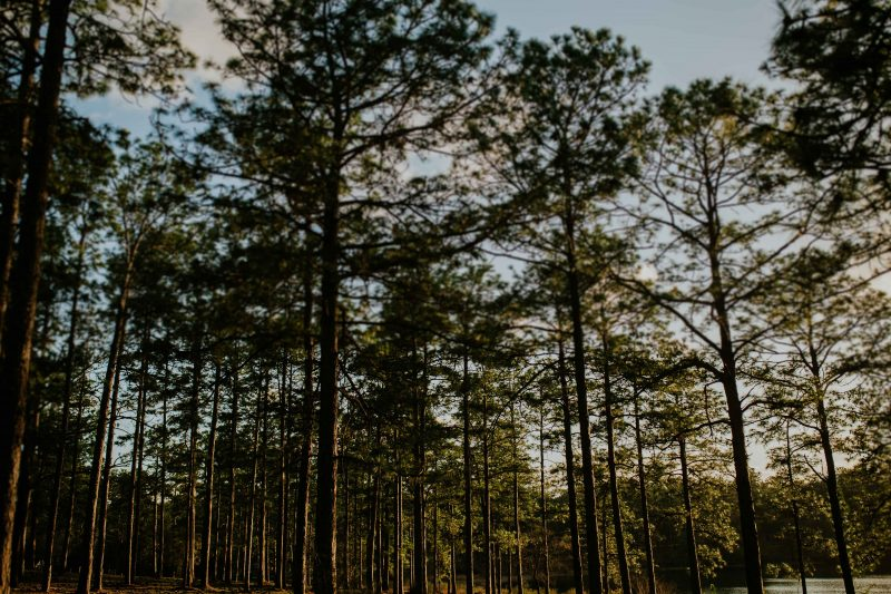 Conecuh Forest Pine Trees